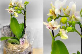 Orquídeas en elegante caja de mimbre